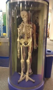 Discovery Center skeleton model
