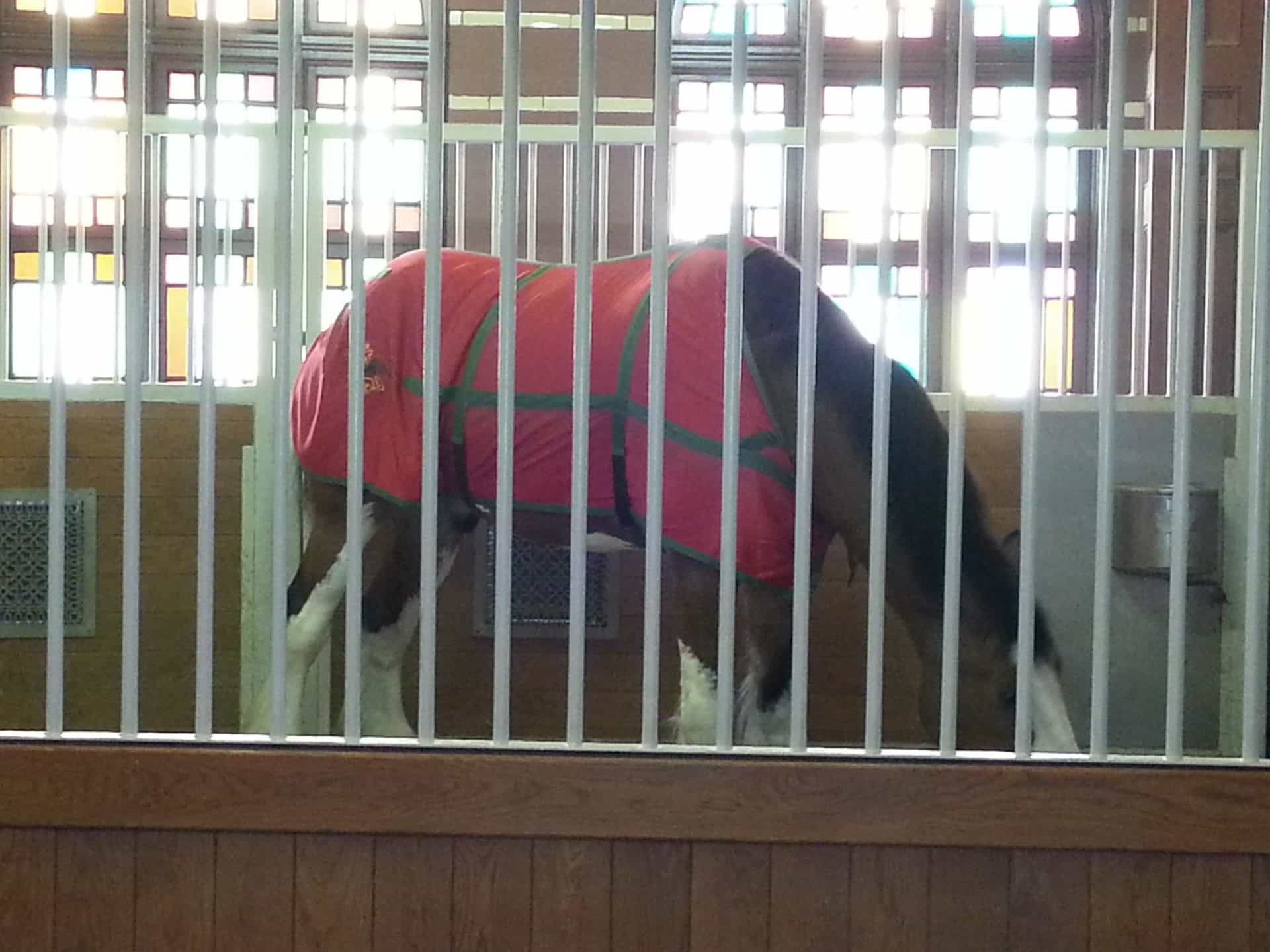 Budweiser Brewery Tour, St. Louis, MO - Clydesdale in barn
