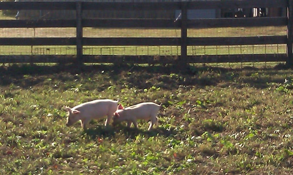 Honeysuckle Hill Farm pigs