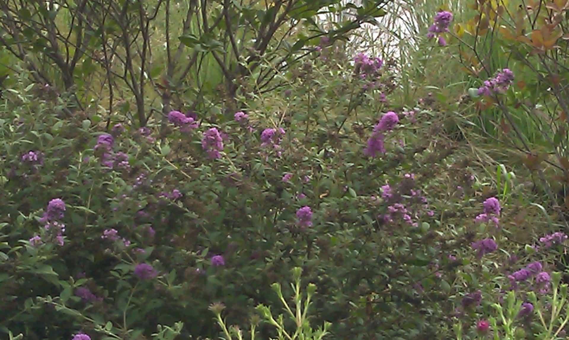 Cumberland Park - Native flowers