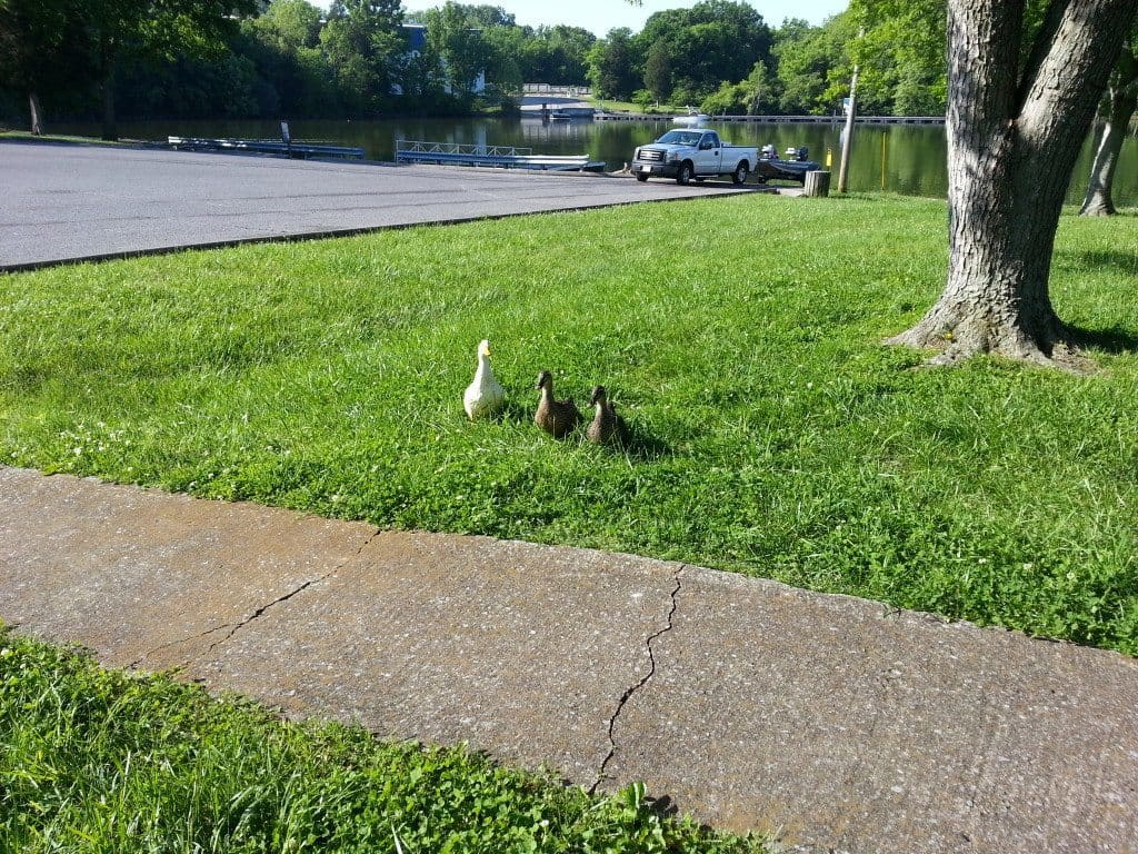 Lone Branch Recreation ducks