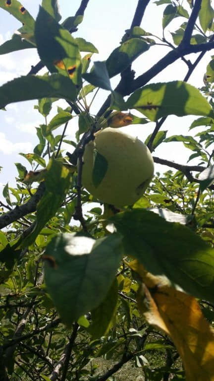Pratt's Orchard - Yellow Delicious on the tree