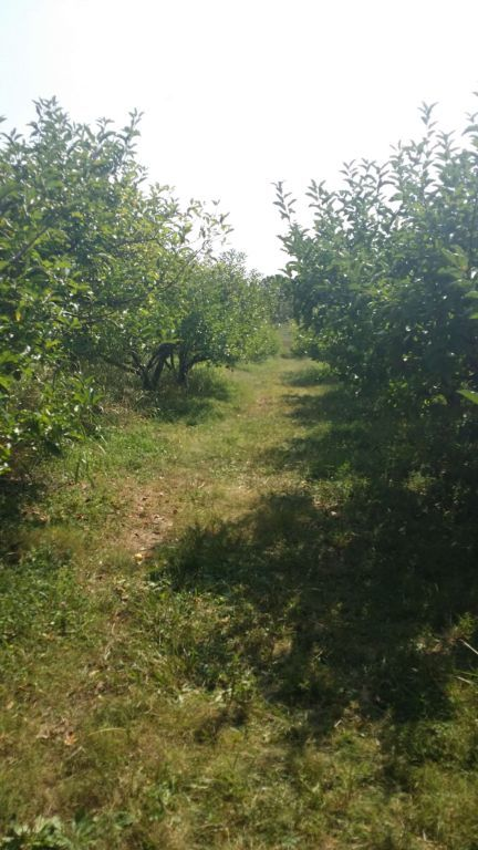 Pratt's Orchard - rows of trees