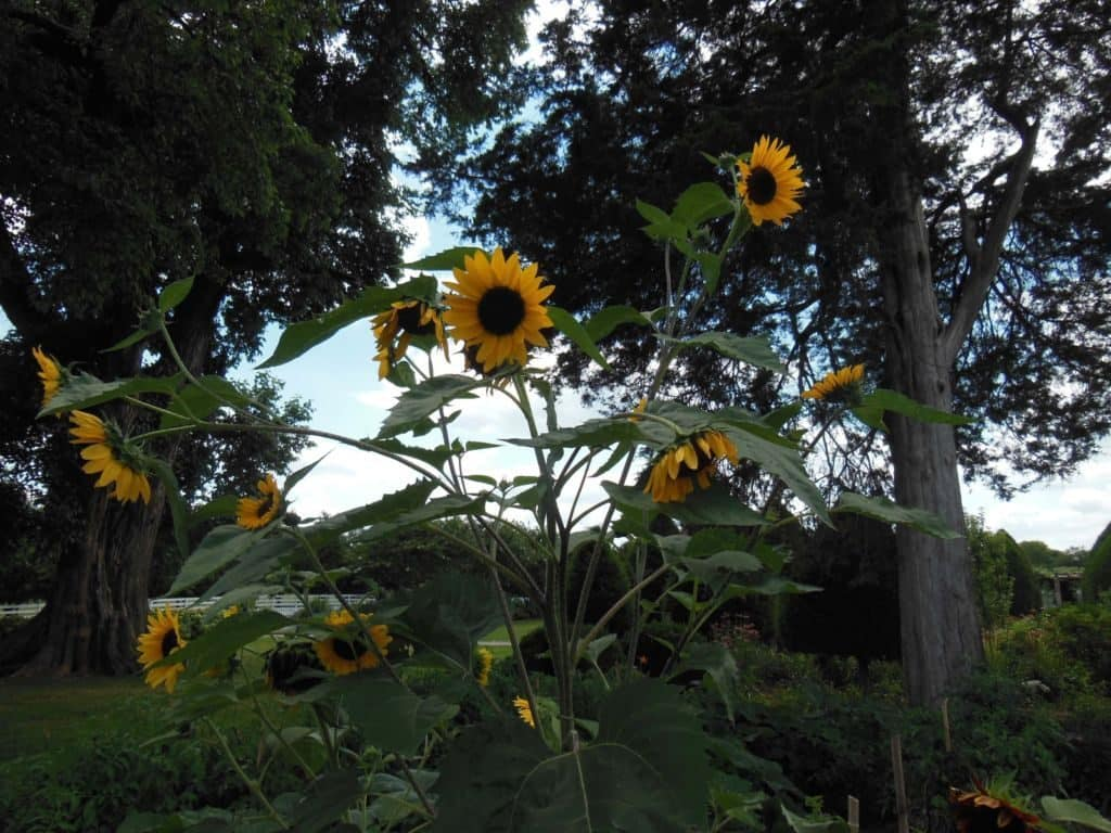 Carnton Plantation garden sunflowers