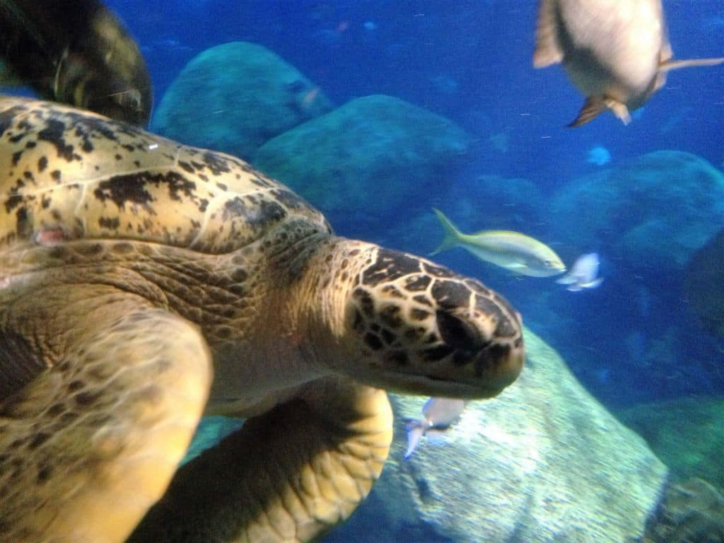 Tennessee State Aquarium Sea Turtle