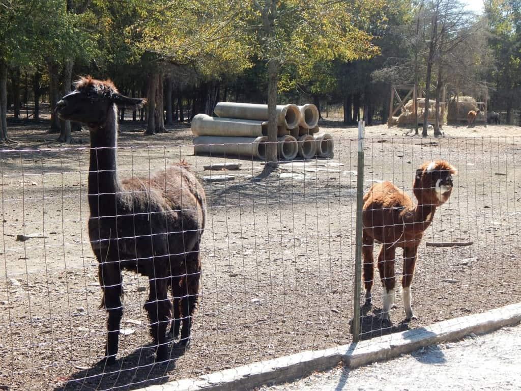 Lucky Ladd Farms - llama and alpaca