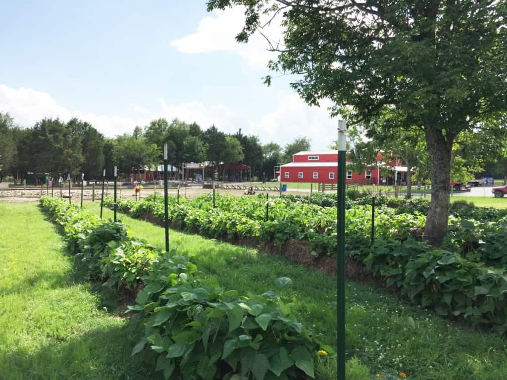 Straw bale garden at Lucky Ladd Farms - green rows of plants under a tree
