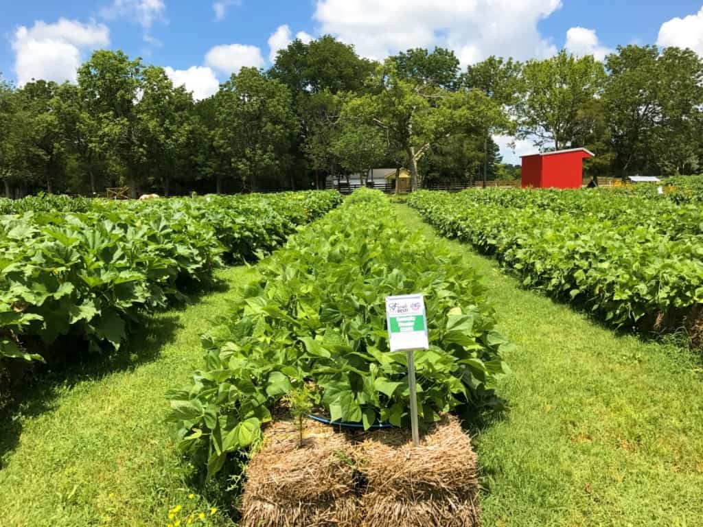 Straw bale garden row with green beans at Lucky Ladd Farms