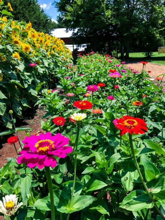 U-cut flower garden zinnias