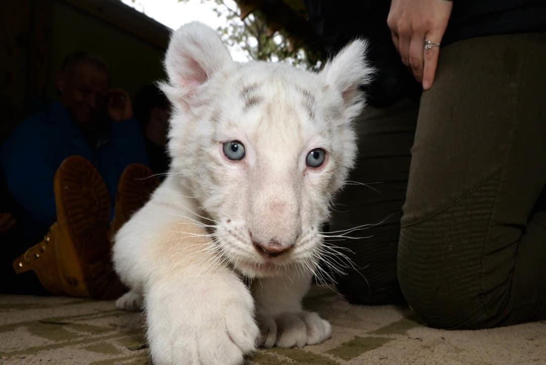A white tiger cub walking at Myrtle Beach Safari