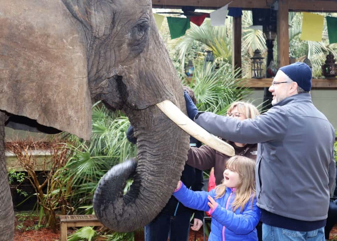 Bubbles the african elephant enjoying having her trunk stroked at Myrtle Beach Safari