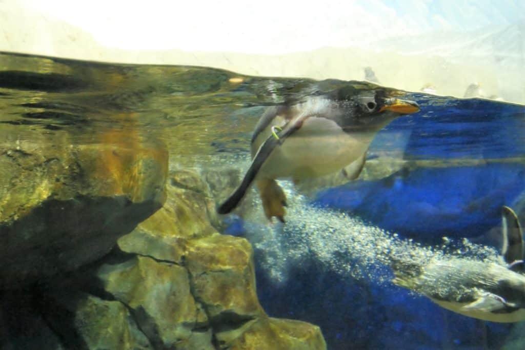 Tennessee Aquarium - penguins in the Ocean Journey