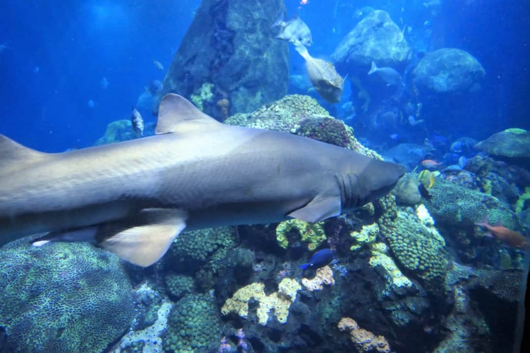 Tennessee Aquarium - shark in the Ocean Journey
