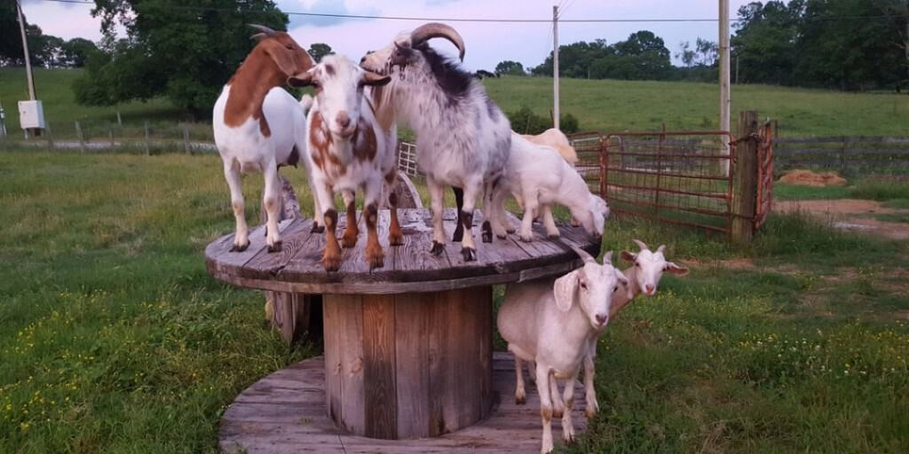 Goats standing on a wooden spool in a field at Amaze N Corn farm