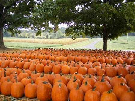 A field of picked pumpkins at Boyd's Pumpkin Patch