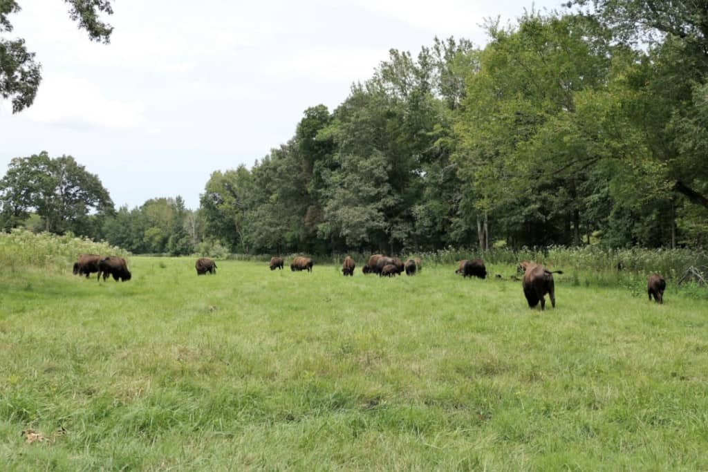 A large herd of buffalo grazing on green grass next to a line of trees