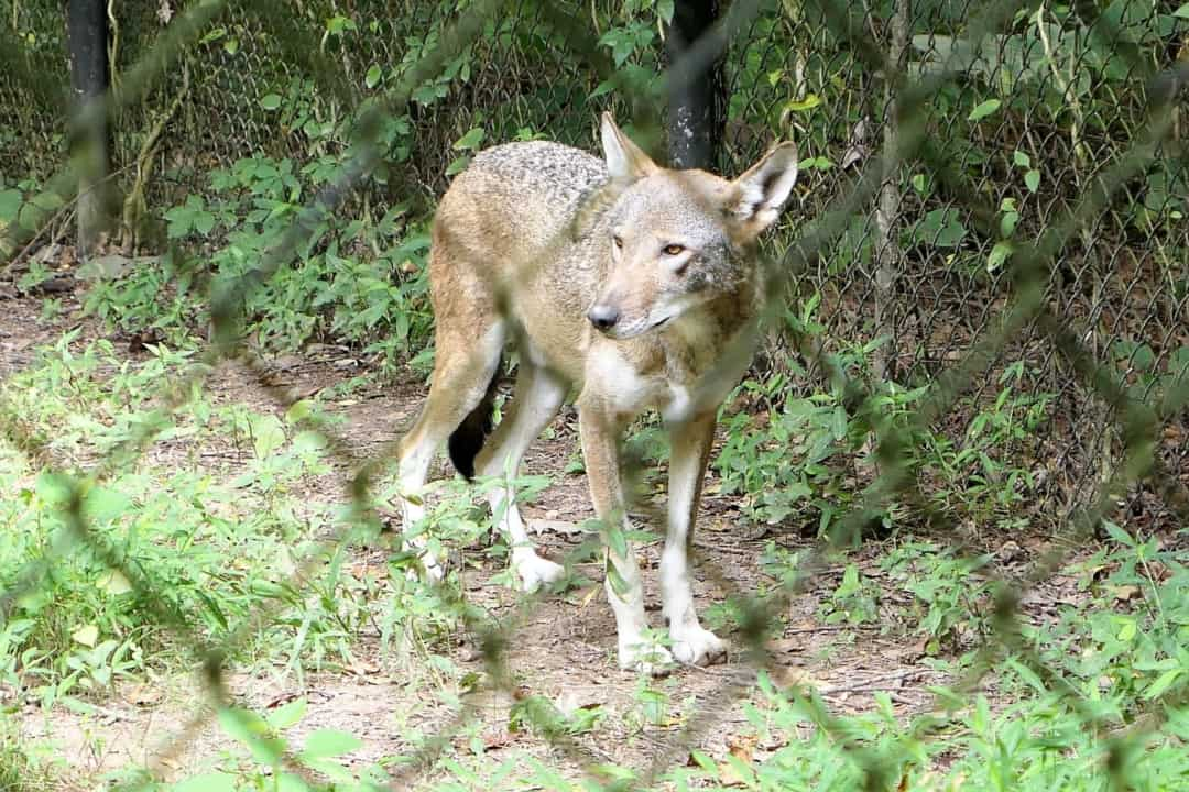 Red Wolf at the Nature Station in the Land Between the Lakes